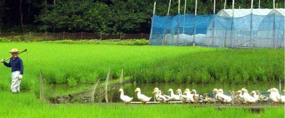 アイガモ農法1