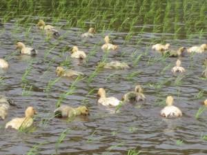 田植えが終わるとあいがも隊の出番です。田んぼの中を気持ちよさそうに泳いでお米を育てます。
